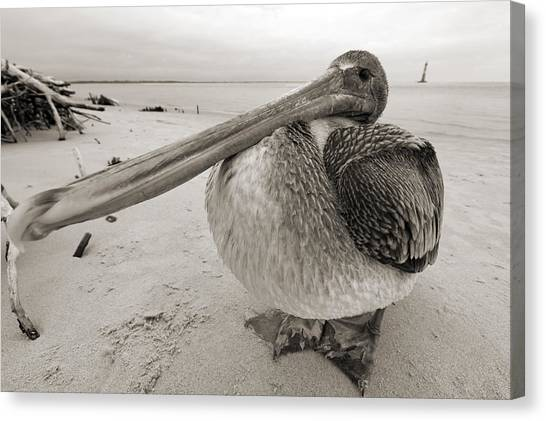 Large Birds Canvas Print - Brown Pelican Folly Beach Morris Island Lighthouse Close Up by Dustin K Ryan