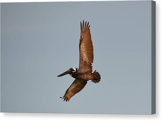 Brown Pelican In Flight No. 2 Canvas Print