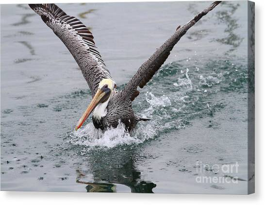 Brown Pelican Landing On Water . 7d8372 Canvas Print