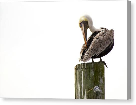 Brown Pelican On Piling Canvas Print