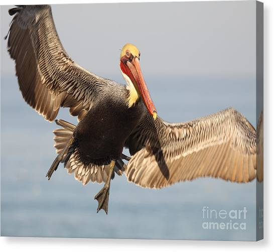 Brown Pelican Putting On The Brakes Canvas Print