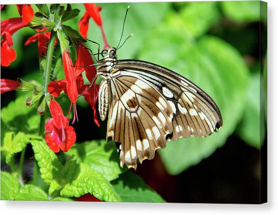 Brown Swallowtail Butterfly Canvas Print