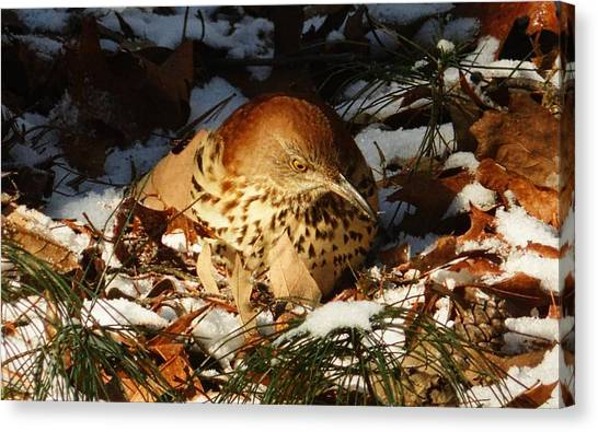 Brown Thrasher Closeup Canvas Print