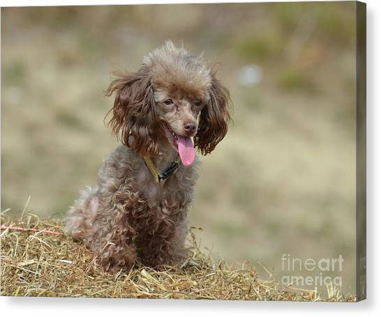 Brown Toy Poodle On Bail Of Hay Canvas Print