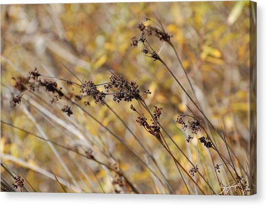 Brown Wildgrass Canvas Print by Jean Booth