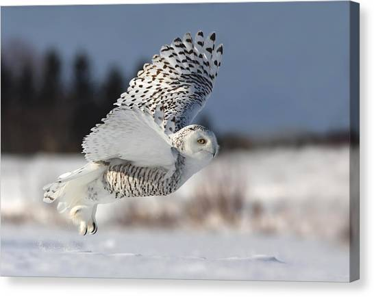 Flight Canvas Print - Bubo Scandiacus by Mircea Costina