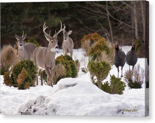 Canvas Print featuring the photograph Buck And Turkey by Angel Cher