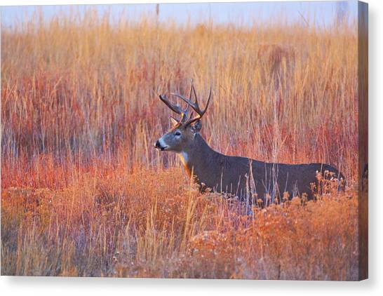Buck Deer In Morning Sunlight Canvas Print