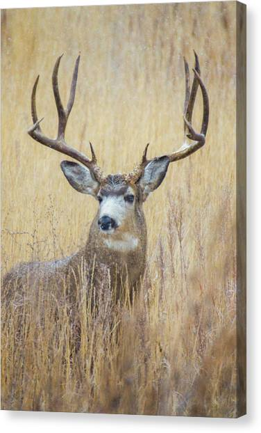 Buck In Snow Canvas Print