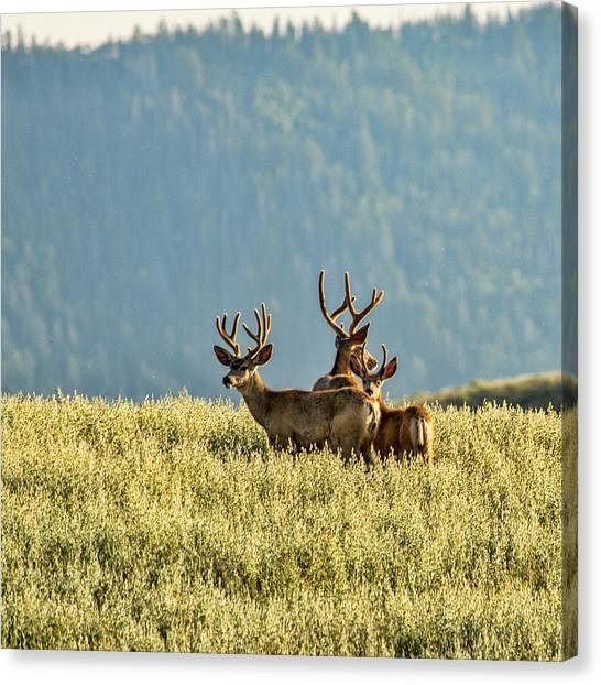 Buck Mule Deer In Velvet Canvas Print
