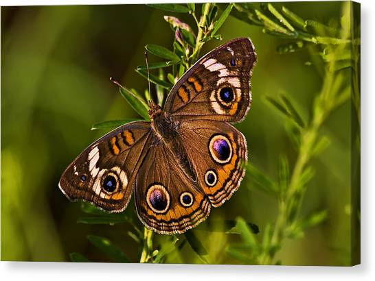 Buckeye Butterfly Canvas Print by Michael Whitaker