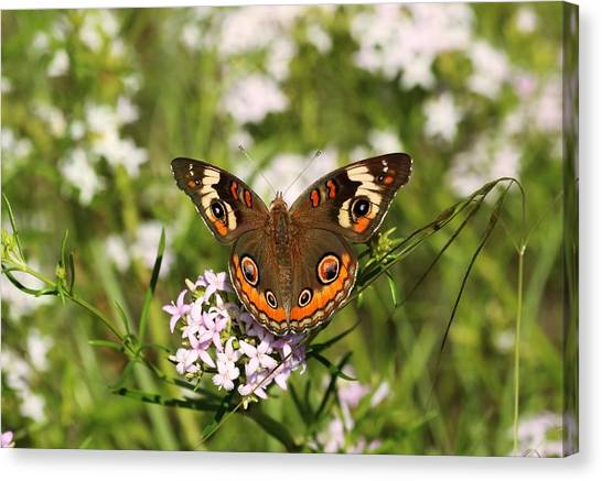 Buckeye Butterfly Posing Canvas Print