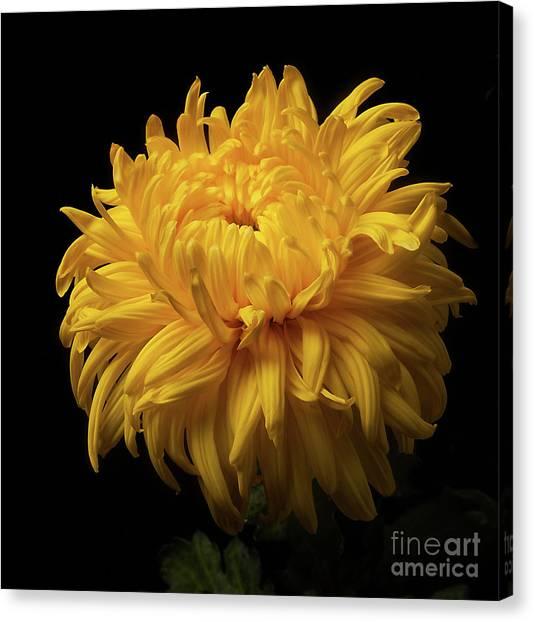 Bud Opening-chrysanthemum 'allison Peace Canvas Print