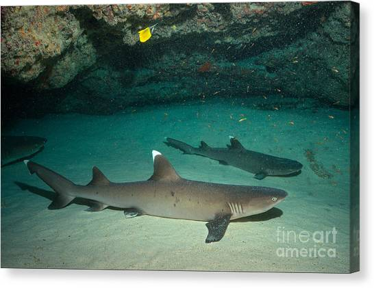 White Tip Sharks Canvas Print - Buddha Point by Aaron Whittemore