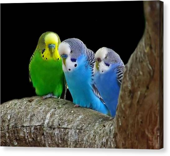 Dove Canvas Print - Budgerigar by Jackie Russo