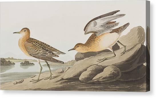 Sandpipers Canvas Print - Buff Breasted Sandpiper by John James Audubon