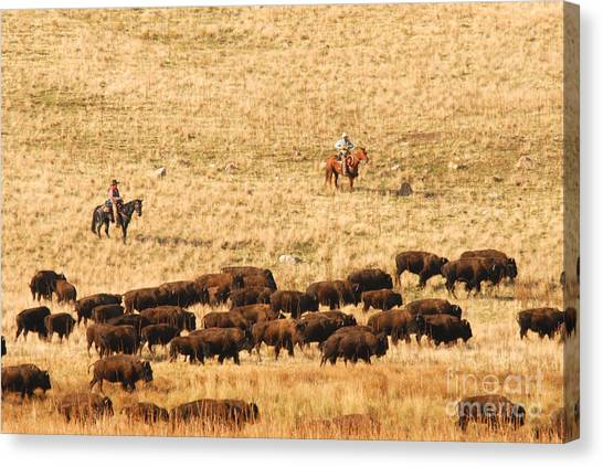 Buffalo Roundup Canvas Print by Dennis Hammer