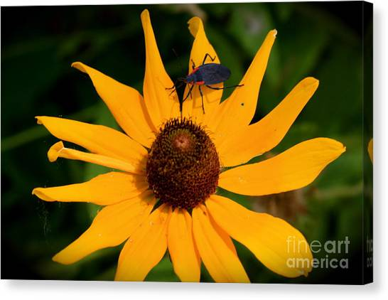 Bug On A Flower Canvas Print by Sherri Williams