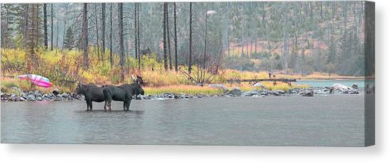 Bull And Cow Moose In East Rosebud Lake Montana Canvas Print