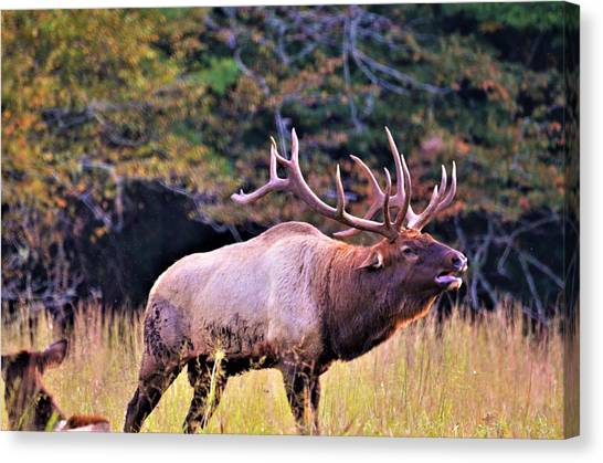 Bull Calling His Herd Canvas Print