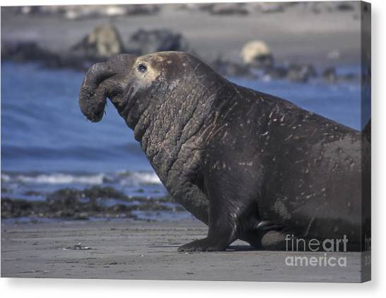 Bull Elephant Seal Canvas Print by Stan and Anne Foster