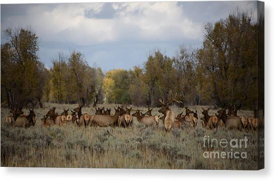 Bull Elk And Harem Canvas Print