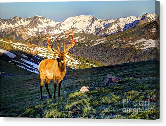 Bull Elk At First Light Canvas Print