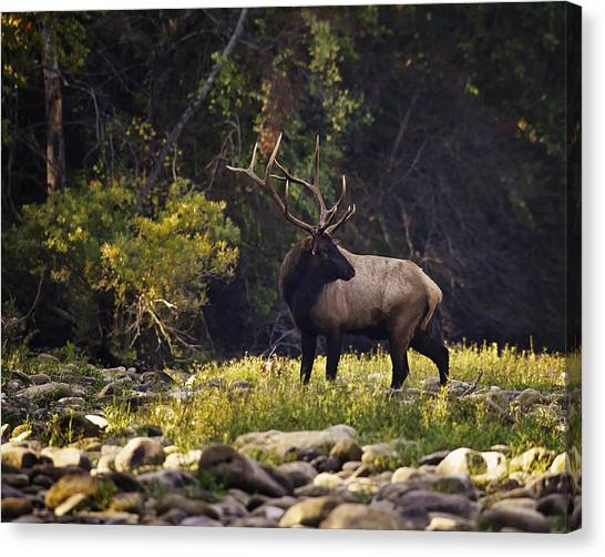 Bull Elk Checking For Competition Canvas Print
