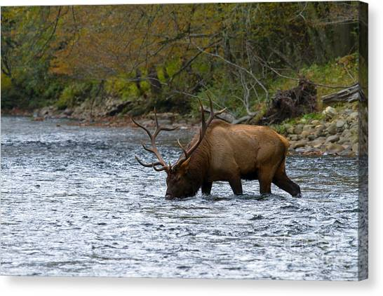 Bull Elk Crossing The River Canvas Print
