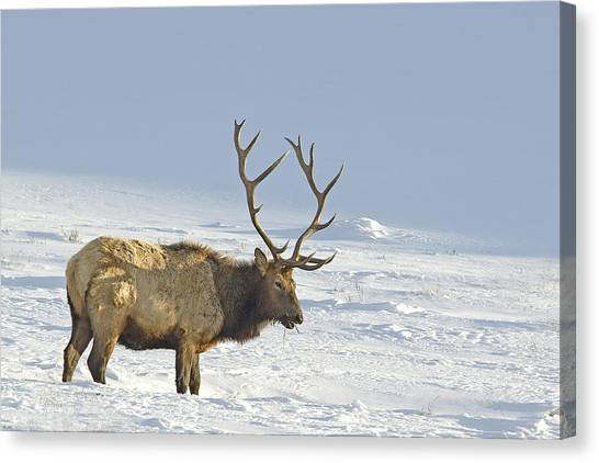 Bull Elk In Snow Canvas Print