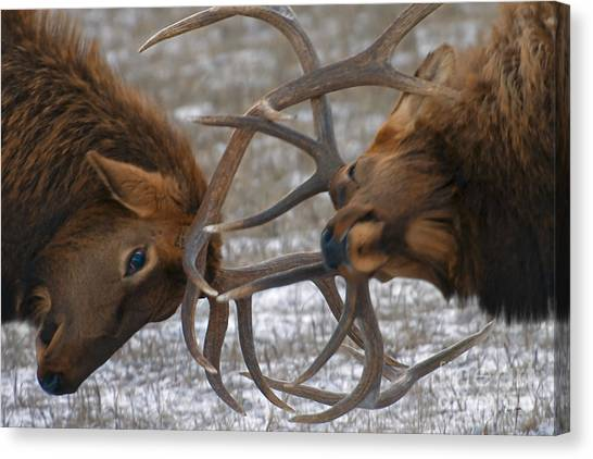 Bull Elk In The Rut-signed Canvas Print