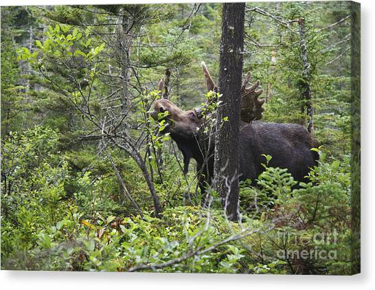 Canvas Print featuring the photograph Bull Moose  - White Mountains New Hampshire  by Erin Paul Donovan