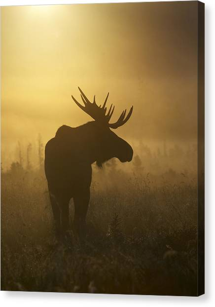 Morning Canvas Print - Bull Moose In Fog by Tim Grams