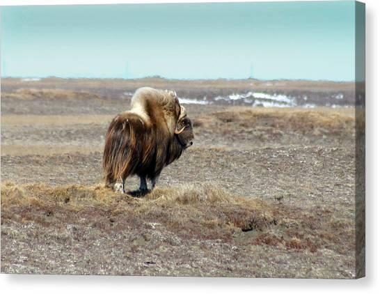 Bull Musk Ox Canvas Print