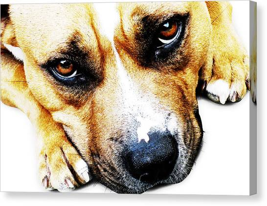 Bulls Canvas Print - Bull Terrier Eyes by Michael Tompsett