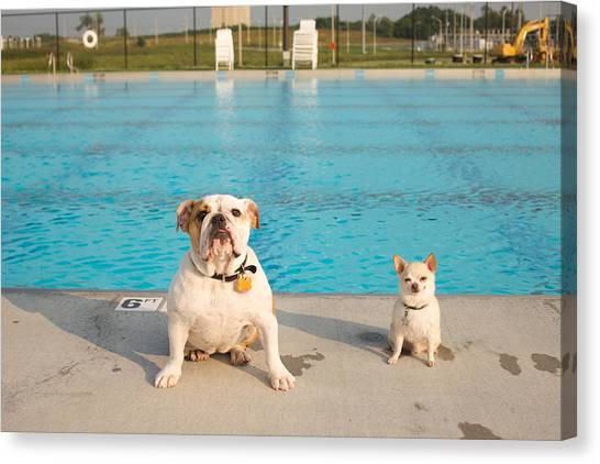 Chihuahuas Canvas Print - Bulldog And Chihuahua By The Pool by Gillham Studios