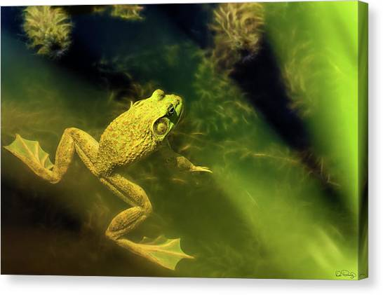 Bullfrog In A Pond Canvas Print