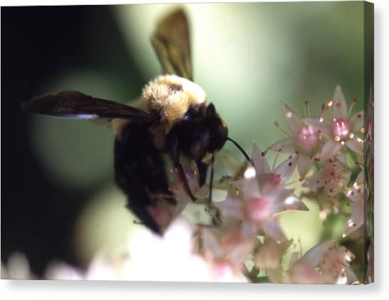 Bumblbee Bzzz Canvas Print by Curtis J Neeley Jr