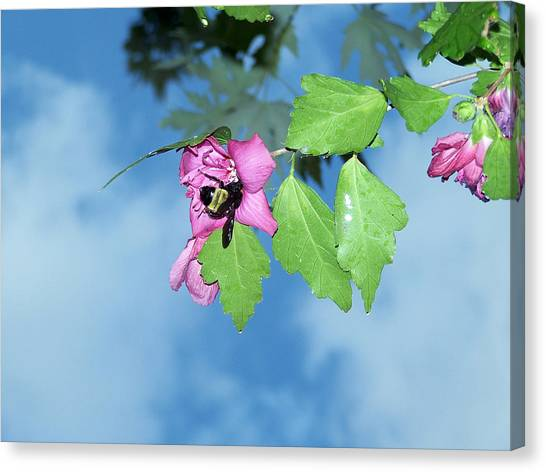 Bumble Bee 2 Canvas Print by Evelyn Patrick