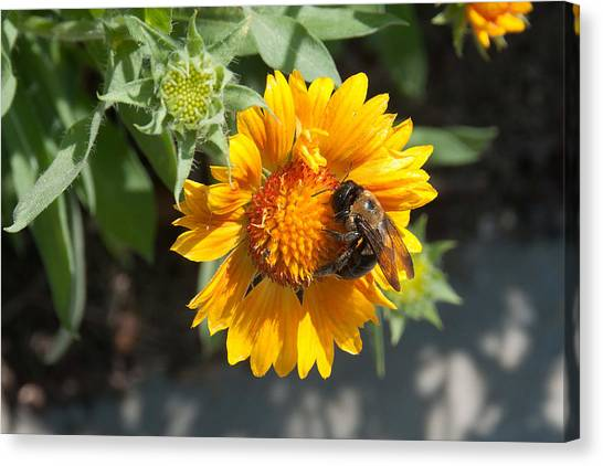 Bumble Bee Collecting Pollen On Sunflower Canvas Print
