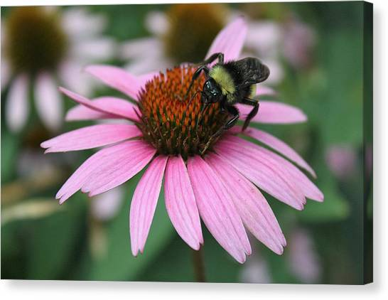Bumble Bee On Pink Coneflower Canvas Print