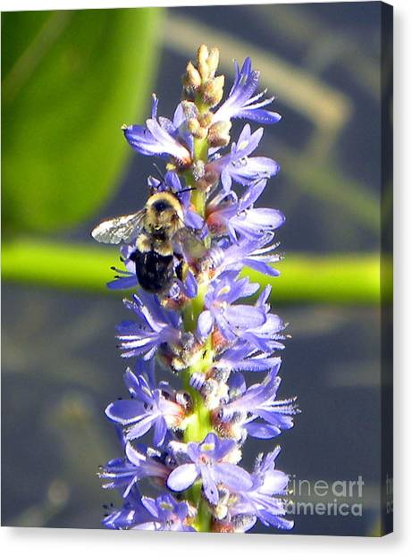 Bumble Bee On Purple Pickerel Rush Canvas Print by Terri Mills