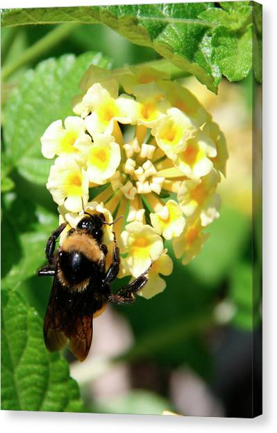 Bumble Bee On Yellow Flowers Canvas Print