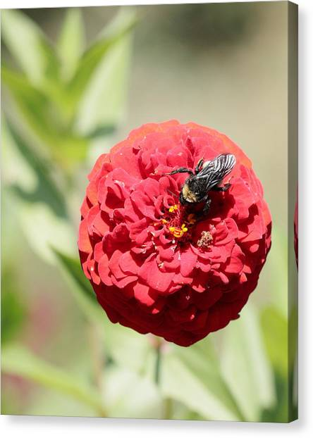 Bumble Bee On Zinnia Canvas Print