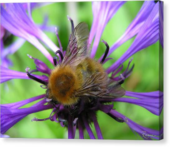 Bumblebee In Blue Canvas Print