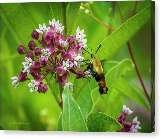 Bumblebee Moth 153 Canvas Print