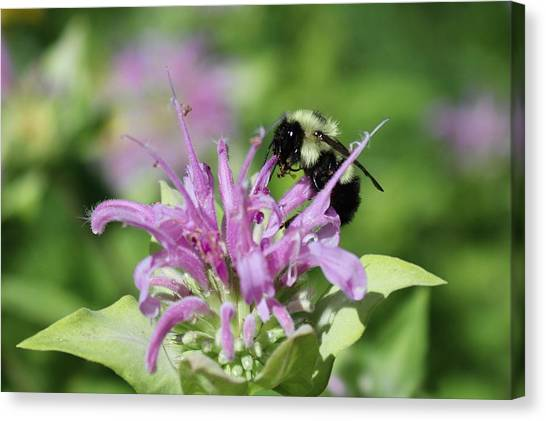 Bumblebee On Bee Balm Canvas Print