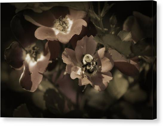 Bumblebee On Blush Country Rose In Sepia Tones Canvas Print
