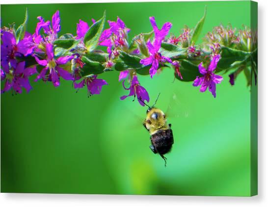 Bumblebee To Nectar Canvas Print