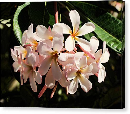 Bunch Of Plumeria Canvas Print